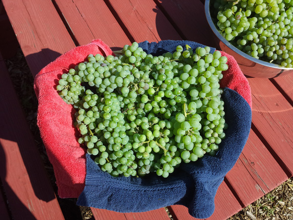 Champagne grapes from the garden