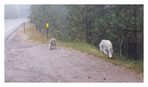 Mountain Sheep in the Black Hills