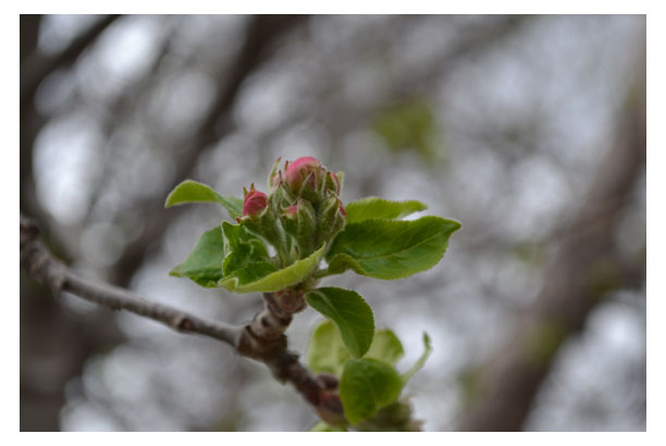 Apple Tree budding out